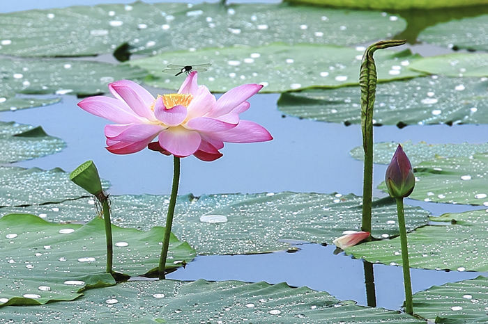 lotus Beauty In Nature Close-up Day Floating On Water Flower Flower Head Fragility Freshness Growth Horizon Over Water Lake Leaf Lily Pad Lotus Lotus Water Lily Nature No People Outdoors Petal Plant Water Water Lily
