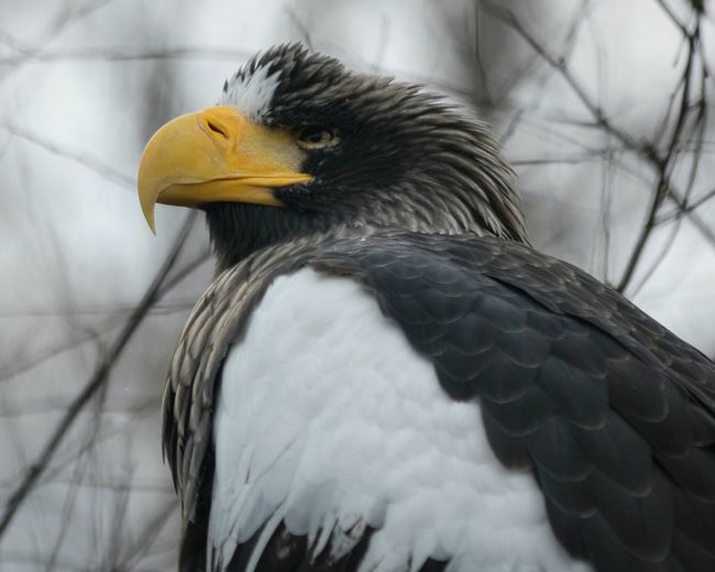 Close-up of stellers sea eagle