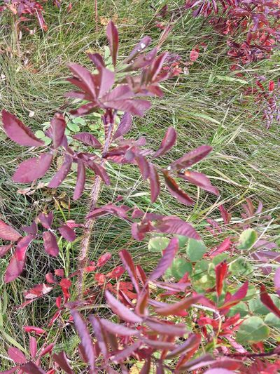 Growth Plant Nature Green Color Outdoors Beauty In Nature Blue Sky Non-urban Scene No People Spruce Grove, Alberta Samsung Galaxy S5 Neo End Of Summer Changing Seasons Countryside Plant Grass Field Red Burst Autumn Vibrant Color Red Leaves Purple Purple Leaves Thorns