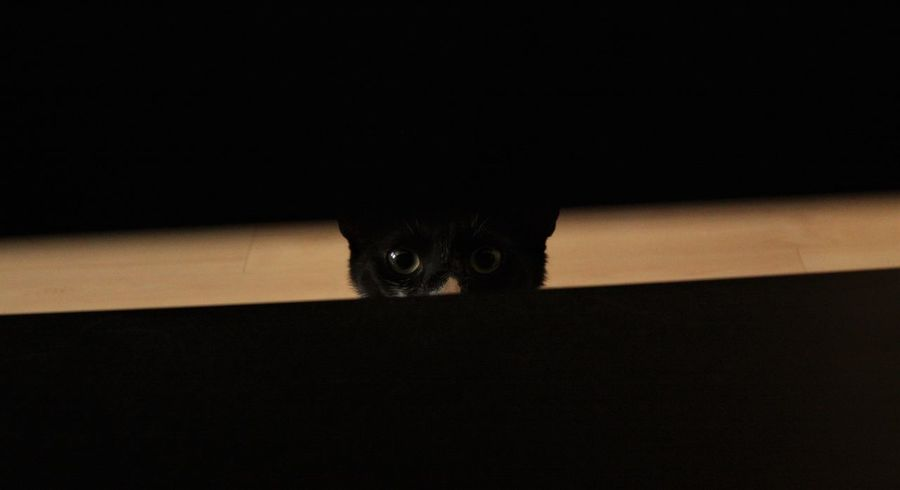 I Spy Animal Head  Animal Themes Black Background Cat Close-up Day Domestic Animals Domestic Cat Feline Front View Indoors  Kitten Looking At Camera Mammal No People One Animal Pets Portrait Siamese Cat Sitting Spy Cat Spy Cat Is Spying Whisker EyeEmNewHere