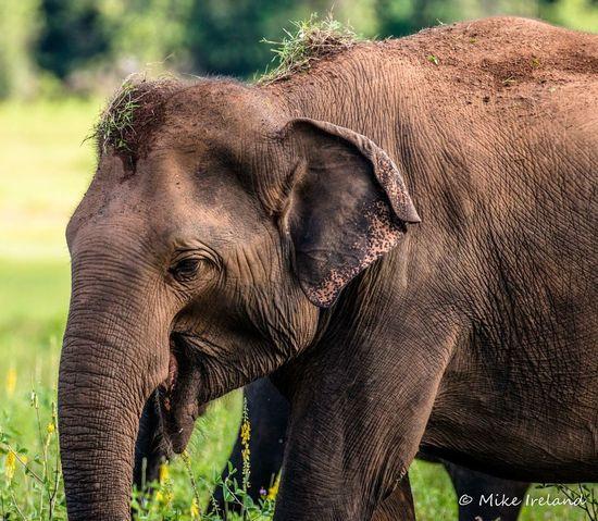Sri Lankan elephant Elephant Animal Animal Body Part Nature Animal Themes Animals In The Wild Animal Wildlife No People Brown Day Mammal Animal Trunk Outdoors Tusk One Animal Grass African Elephant Close-up EyeEmNewHere