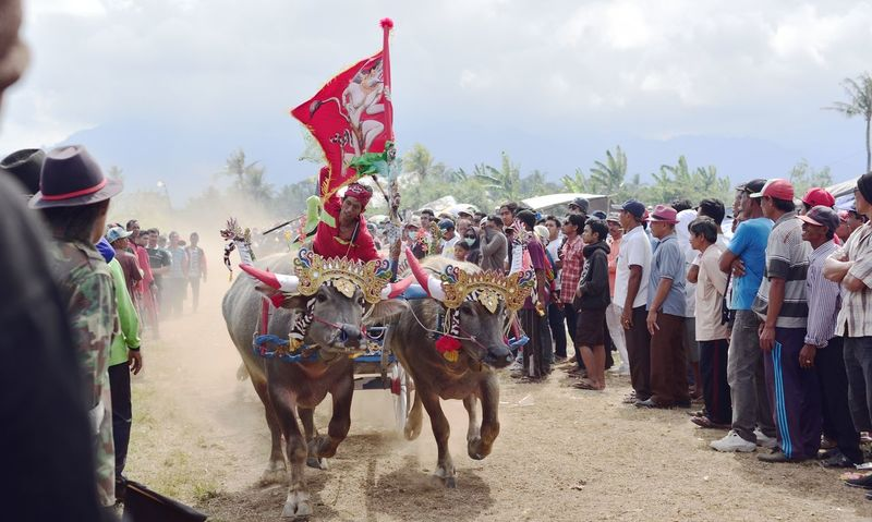 Makepung Bali Bali Art And Culture Bali Indonesia Bull Bull Racing Domestic Animals Domestic Cattle Large Group Of People Livestock Makepung Negara Bali, Indonesia Outdooors Working Animals