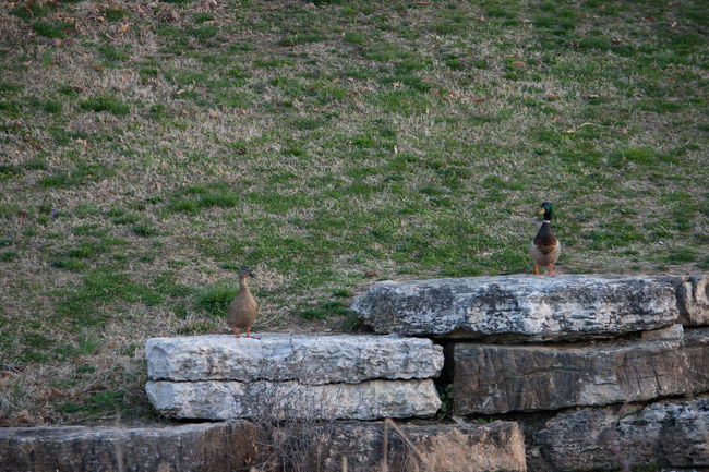 2 Ducks Couple Mallard Drake And Hen Animal Animal Themes Animal Wildlife Animals In The Wild Architecture Bird Built Structure Courting Day Land Mammal Mr And Mrs Nature No People Outdoors Plant Rock Rock - Object Solid Stone Wall Vertebrate Wall