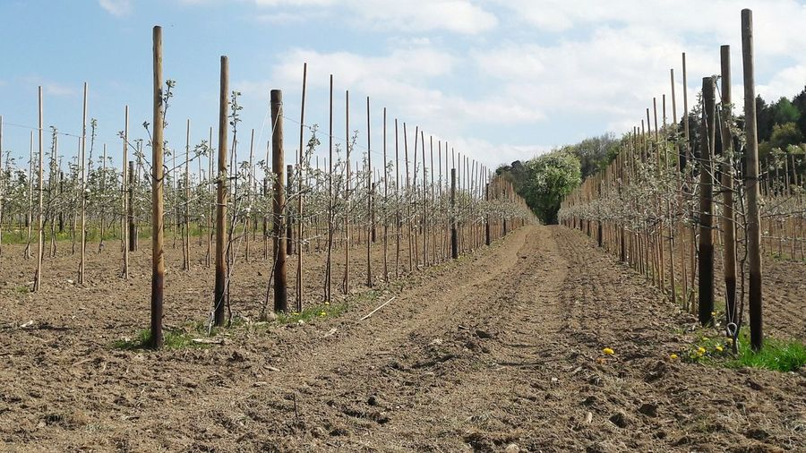 🍎Apple Trees In A Row Apple Trees  Blossoms  Agriculture Outdoors Fruit Tree Blossoms Fruit Trees Farming Trees In A Row Pesticides Kill Bees Pesticides Springtime Nature Growth Sky Monoculture Plantation APIculture Toxic To Bees Spring Pattern Springtime Rural Scene