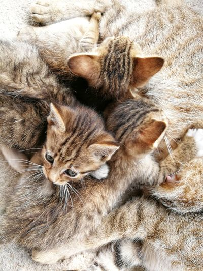 Kitten Pets Bed Domestic Cat Feline High Angle View Sheet Close-up Whisker Cat Stray Animal Home Domestic Animals Kitten Paw