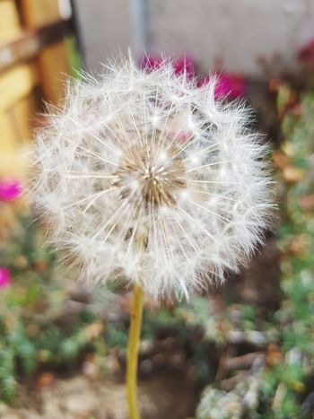 Outdoors Focus On Foreground Beauty In Nature Uncultivated Growth Wildflower Fragility Dandelion Nature Second Acts