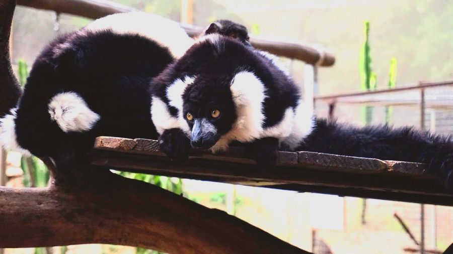 Animal Themes Mammal No People Day Animals In The Wild Lemur Nature Outdoors Togetherness Animal Family Sneeky Beauty In Nature Close-up EyeEmNewHere EyeEmNewHere