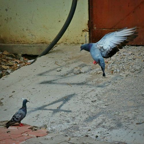 Bird Photography Birdphotography Flying Bird Flying Pigeon Landing Bird Wings Of Freedom Bird Vs Bird The Best Shot Of The Day The Best Shot The Great Outdoors - 2016 EyeEm Awards The Street Photographer - 2016 EyeEm Awards The Photojournalist - 2016 EyeEm Awards The Perfect Shot Love Love Photography