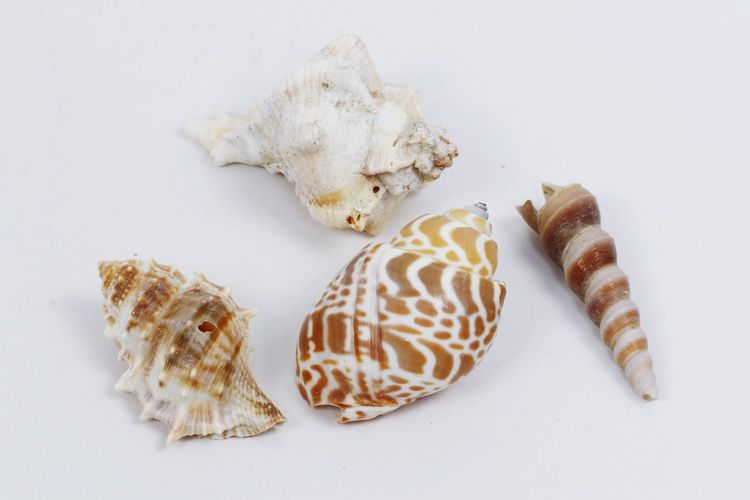 something from sea Sea Life White Background Fossil Close-up Seashell Mollusk Paleontology Animal Skeleton Mussel Slug Shell Slow Hermit Crab Animal Antenna Oyster  Snail Crustacean Animal Shell Invertebrate 10