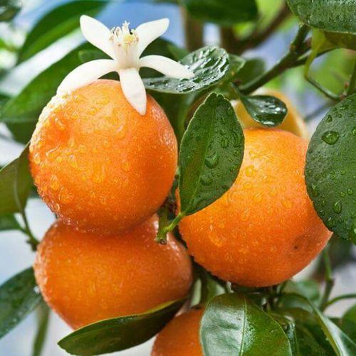 Fresh oranges with dew drops Oranges Orange Blossom Morning Dew Contrasting Colors Citrus  Citrus Belt Outdoor Photography Vitamin C Florida Fruit Food Porn