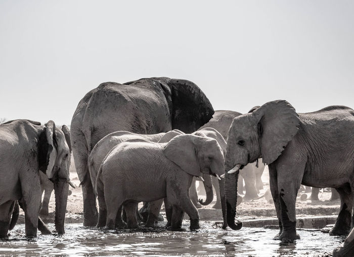 View of elephant in water against clear sky