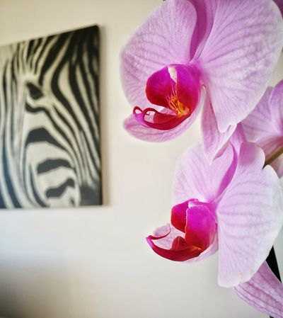 Flower Indoors  Home Interior Pink Color Purple Close-up No People Flower Head Home Showcase Interior Day Huaweiphotography Photooftheday Huawai P9 Orchids Collection OrchidLover Orchids Nature Beauty In Nature Zebra♥ Zebras Interior Design Interior Style Interior Decorating