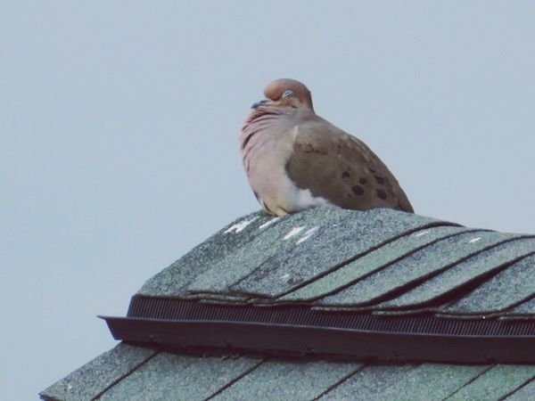 Bird Animal Themes Animals In The Wild One Animal Animal Wildlife Low Angle View Clear Sky Perching Day No People Mourning Dove Outdoors Nature Sparrow Sky Dove Mourning Doves Mourning Dove Beauty In Nature Takinganap