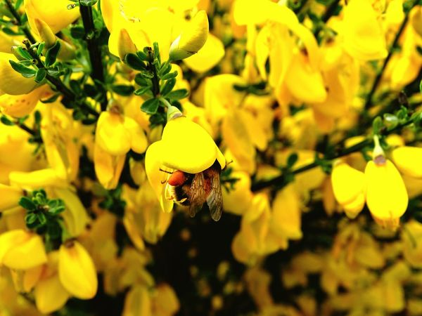 Animal Wildlife Insect One Animal Yellow Nature Animals In The Wild Bees Photography Eyeem Bees Bee 🐝 Beesofeyeem Bee Collecting Pollen Bee Collection Bee Collecting Pollen From Flowers