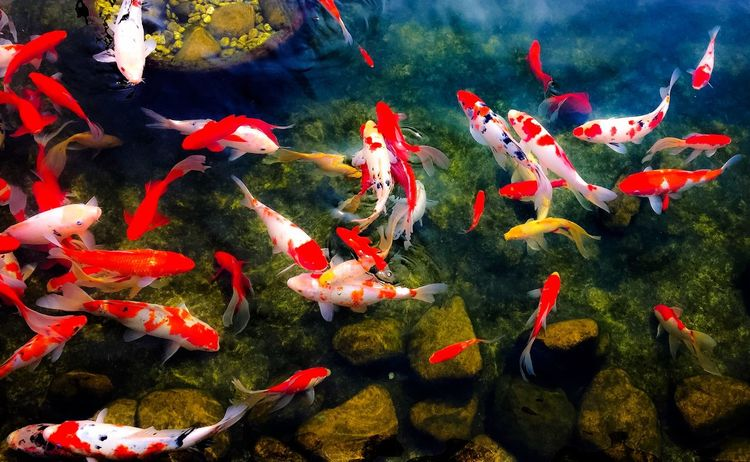 Koi Fish World Colorful Nature Koi Color Portrait Relaxing EyeEm Colorful! Nature_collection EyeEm Nature Lover