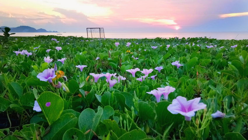 Sunrise On The Beach Nature Landscape Sea Beach Pink Flowers With Green Leaf