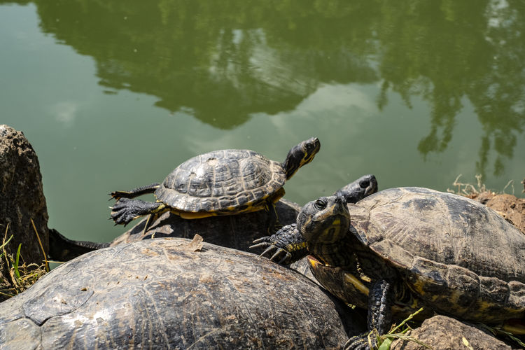 Turtles Animal