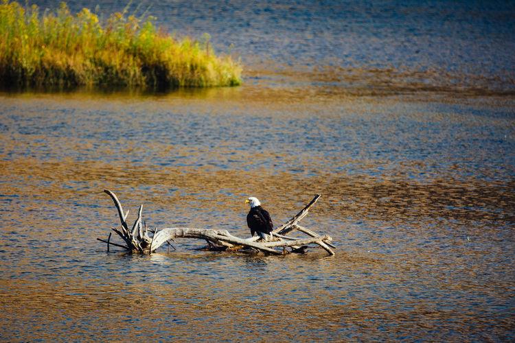 Bald eagle sitting on a branch at Columbia River, Washington State, USA Bald Eagle Columbia River North America Raptor USA Washington State Animal Wildlife Animals In The Wild Bird Day Nature Outdoors Raptorial Bird Water Wildlife