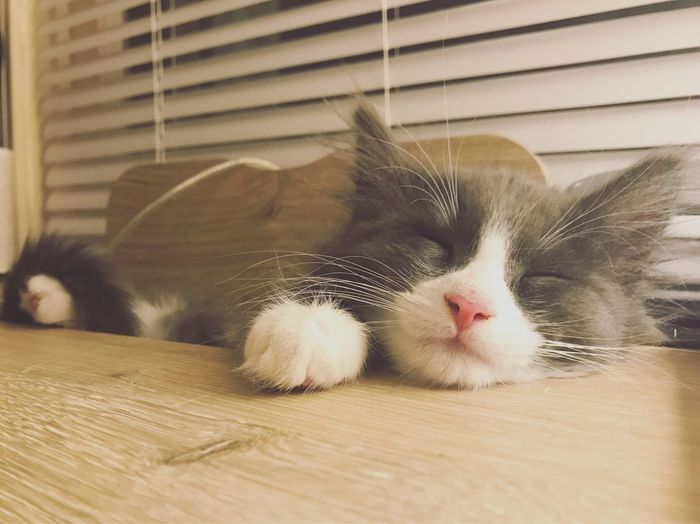 Kitten Kitten 🐱 Kittenoftheday Kitty Cat Cute Cute Pets Cute Cats Sleepy Cat Nap Pink Nose Gray White Innocence So Cute Close-up Check This Out EyeEm Best Shots