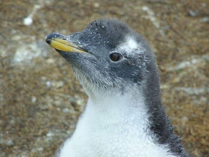 Gentoo Penguin Chick Close-up