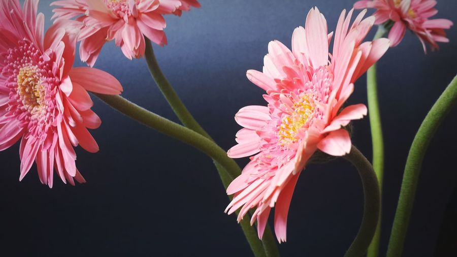 Close-up Of Pink Gerbera Daisy Flowers Against Gray Background