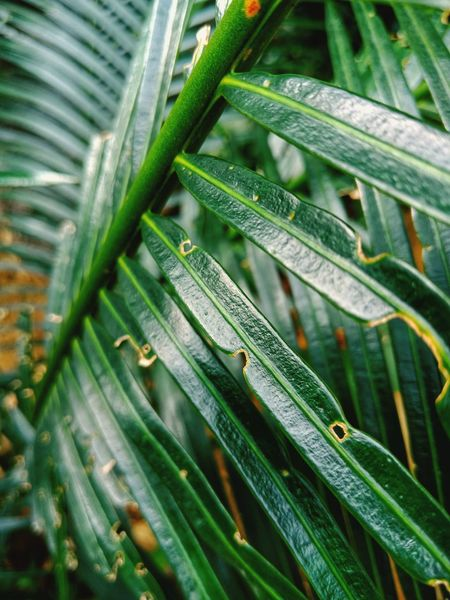 green. EyeEm Selects Nature Green Coconut Tree Coconut Leaves Leaves Long Leaves Leaf Agriculture Full Frame Backgrounds Close-up Green Color Plant Greenery Natural Pattern