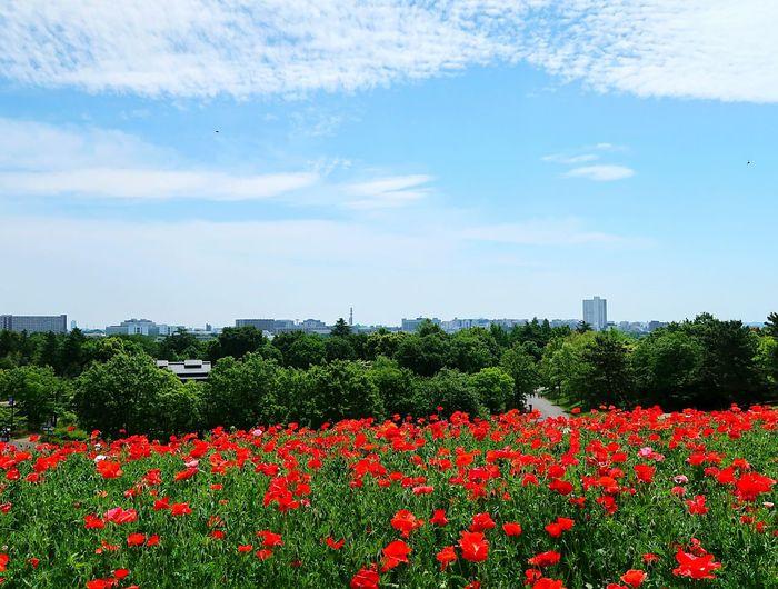 Red Flowers Growing On Field Against Sky