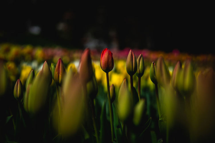 Flower Plant Growth Flowering Plant Beauty In Nature Vulnerability  Fragility Freshness Close-up Selective Focus Flower Head Petal Tulip Nature Inflorescence Field No People Green Color Day Land Outdoors Spring The Minimalist - 2019 EyeEm Awards The Great Outdoors - 2019 EyeEm Awards