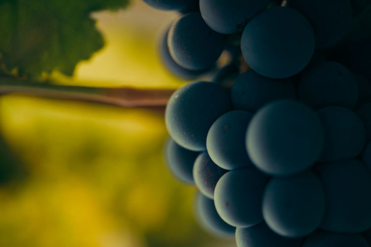close up photo of grapes Close-up Golden Hour Grapes Green Color Muscate Grapes Nature Vine Vineyard Warm Light Wine Wine Industry First Eyeem Photo