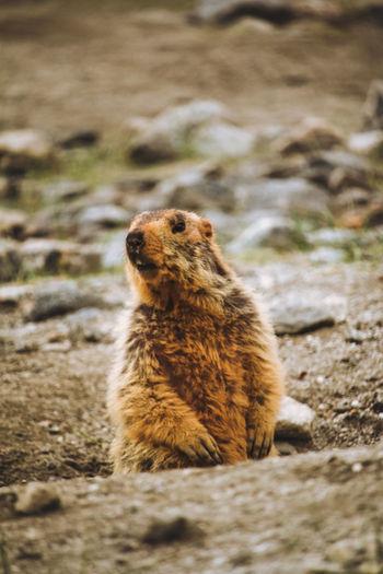 Marmot looking away on rock