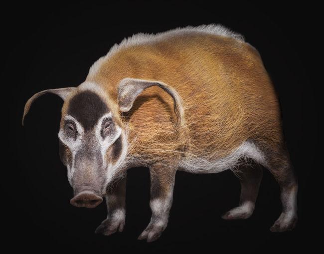 Da Vinci Animal Art Artistic ArtWork Bush Pig Creative Davinci Design Fineart Fineart_photo Fineartphotography Germany HOG Isolated Photodesign Photoshop Pig Potamochoerus Red River Hog