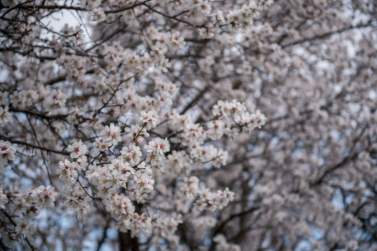 Flowering Plant Plant Flower Freshness Fragility Tree Blossom Cherry Blossom Growth Branch Nature Springtime Cherry Tree No People Outdoors Almond Tree Almond Blossom Blooming Beauty In Nature Vulnerability  Day Close-up White Color Low Angle View Flower Head