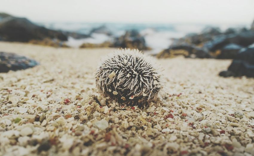 Echinoid Beach Kiomi Collection Sea Sand Nature Nature_collection Colors Macro From My Point Of View Caribbean Nature Diversities EyeEm Best Shots Eyeem Collection EyeEm Best Shots - Nature
