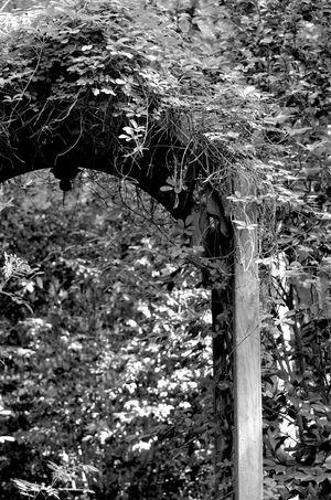 Arbor Vine Ivy Blackandwhite Farm On The Farm Shades Of Grey