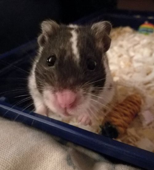 Mammal Animal Themes Pets Whisker Close-up Indoors  Domestic Animals One Animal No People Hamster Face Hamster 💞 Hamster Guests