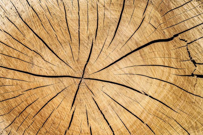 cross-section of a tree trunk showing annual age rings Tree Branches Tree Trunk Backgrounds Brown Close-up Cracked Cross Section Day Full Frame Growth Nature No People Outdoors Pattern Plant Rings Textured  Tree Tree Ring Wood - Material Wood Grain Wood Section