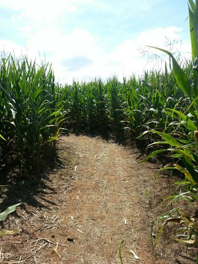 Taking Photos Enjoying Life Check This Out Fun Maze Cornfield Corn Vegetables