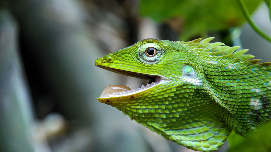 Close-Up Of Chameleon With Mouth Open