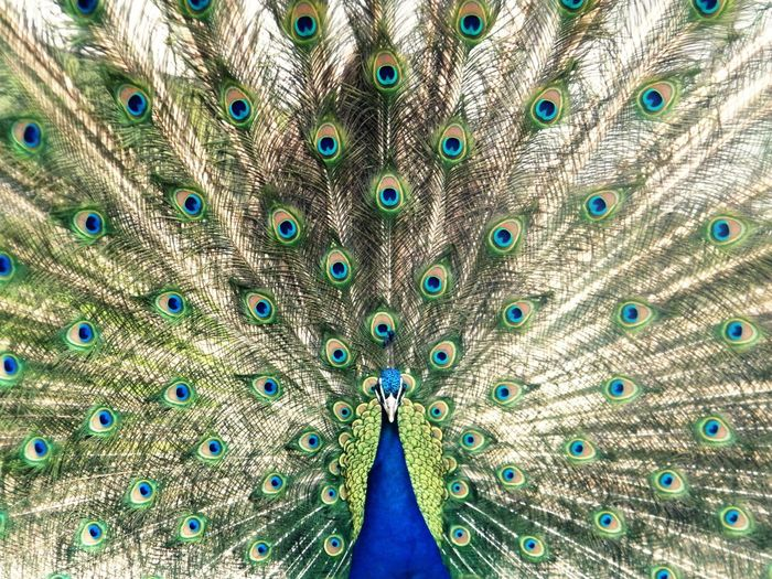 Portrait Of Peacock Spreading Feathers