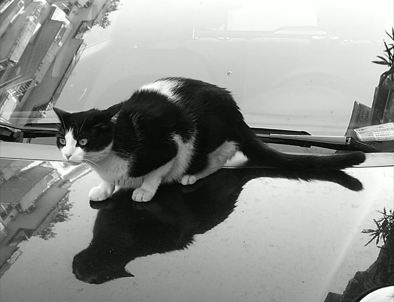 Reflection Domestic Cat Pets Domestic Animals Animal Themes Feline Cats Of EyeEm Cats Cat Lovers Cats 🐱 Cat Photography Catlovers Catportrait Catlover Catstagram EyeEmNewHere EyeEm Best Shots BYOPaper! Cat On The Car The Photojournalist - 2017 EyeEm Awards Reflections Reflection_collection Reflection Photography