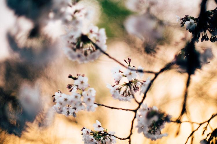 夕焼けにサクラ Dawn Light Golden Time Natural Light 砧公園 Kinuta Park Tokyo,Japan Spring Cherry Tree Blooming Plant Life Twig In Bloom Cherry Blossom