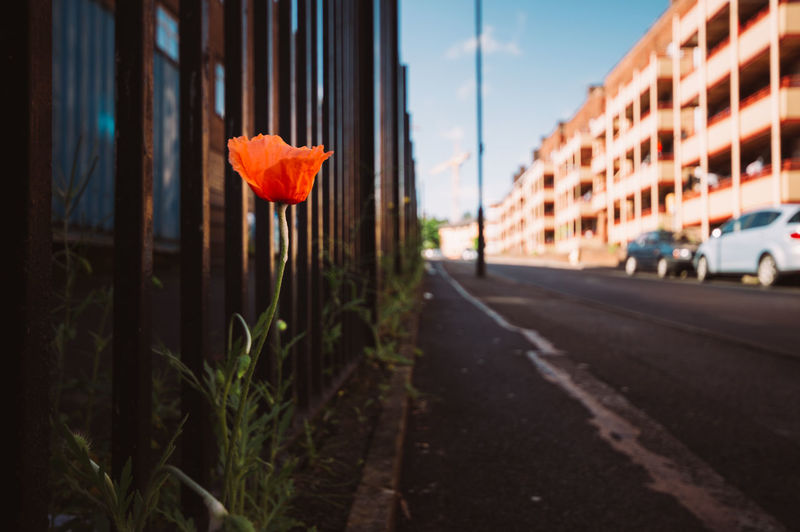 A bright poppy flower growing on the pavement brings life to the street. Adapted To The City Architecture Building Exterior Built Structure Cars City Day England Flower Nature No People Outdoors Plant Poppy Road Scenery Season  Sheffield Sky Street Summer Urban