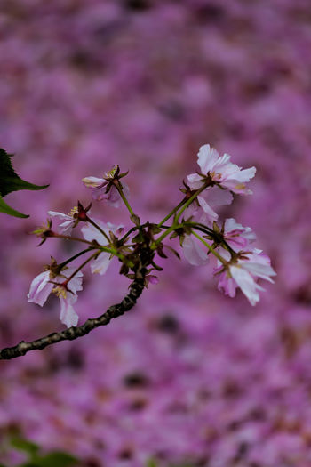 cherry blossoms Beauty In Nature Nature Springtime Cherry Blossoms Spring Flowers Spring Foliage Spring Colors Botany
