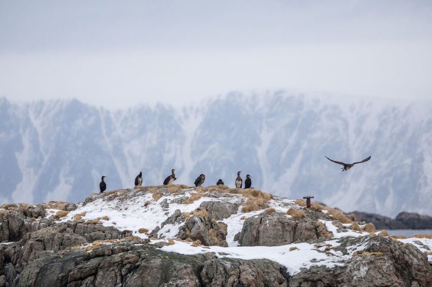 Cormorants sitting on huge rock in the Norwegian Sea in winter against steep mountain range Winter Animal Themes Animal Wildlife Animals In The Wild Beauty In Nature Bird Cliff Cloud - Sky Colony Cormorant  Fog Lofoten And Vesteral Islands Medium Group Of Animals Mountain Mountain Range Nature Outdoors Overcast Remote Rock - Object Scenics Snow Snowing Steep Togetherness