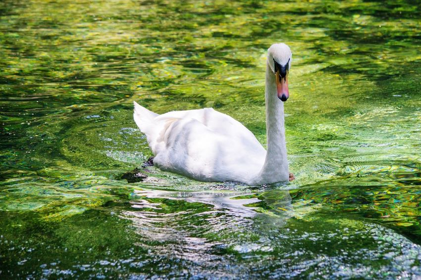 Swan Lake Green Lake Nature Swan Lake Swanlake Swans ❤ Swan River Swan Series Swanriver Birds Bird Photography Birds_collection Bird Photos Animals Animal Animal Photography Birds In The Water