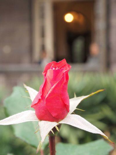 2018/12/05 Wed ☀🍃 こんばんは〜 何故か疲れる今週… やっぱり赤や朱色がJPEGで綺麗に出るのはオリンパスだな〜 Date:2018/11/26 Location:東京・旧古河庭園 ファインダー越しの私の世界 ファインダーは私のキャンパス オリンパス Olympus E_M5Mark2 Om_d ミラーレス Photograph Photography Unsquares カメラ日和 お写んぽ 東京カメラ部 スナップ写真 Tokyo Beautiful カメラのある生活 あなたに見せたい写真がある 写真は心のシャッター 恋するカメラ はなマップ 秋は駆け足 旧古河庭園 薔薇 花のある暮らし 花は人を想い人は花を想う 花を撮る人 Flower Head Flower Leaf Red Maple Leaf Pink Color Petal Close-up