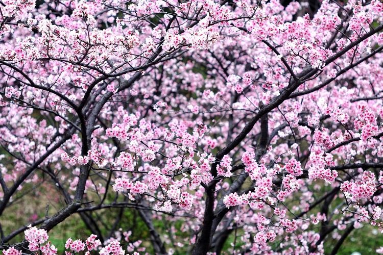 Tree Flower Head Flower Branch Springtime Plum Blossom Pink Color Blossom Orchard Petal Apple Tree Rhododendron Apple Blossom Apricot Magnolia Plum In Bloom Almond Flower Tree Wisteria Fruit Tree Stamen Twig Pistil