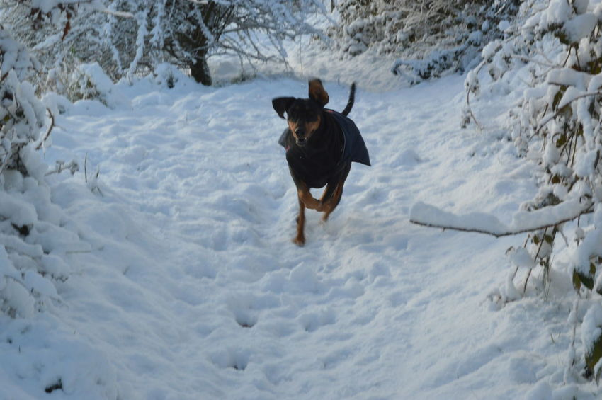Doberman  EyeEm Selects Snow Dog One Animal Animal Animal Themes Cold Temperature Winter Domestic Animals Outdoors No People Nature