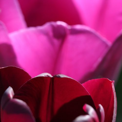 Duo Tulpen Tulip Macro Macro Photography Macro_collection Beauty In Nature View No People No Filter, No Edit, Just Photography Different Perspective Best EyeEm Shot Eeyem Photography EyeEm Best Shots EyeEm Nature Lover Nice View EyeEm Gallery EyeEm Selects Nature Photography Flower Head Flower Pink Color Females Petal Close-up Magenta Plant Life Purple Softness In Bloom Blooming