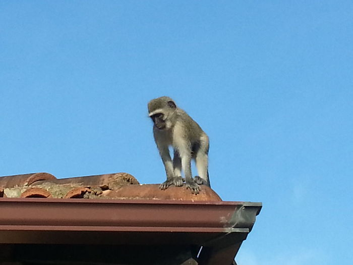 Monkey House Roof Watching People Looking At Things Wants Food 🍝🍟🍝🍕